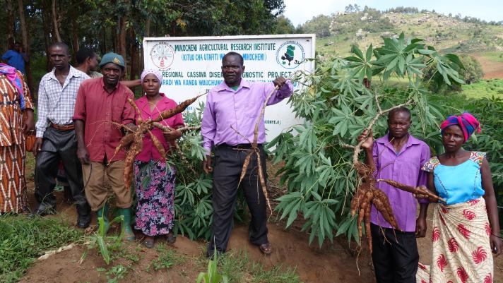 cassava-field